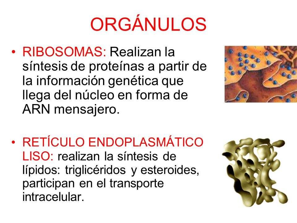 ORGÁNULOS RIBOSOMAS: Realizan la síntesis de proteínas a partir de la información genética que llega del núcleo en forma de ARN mensajero.