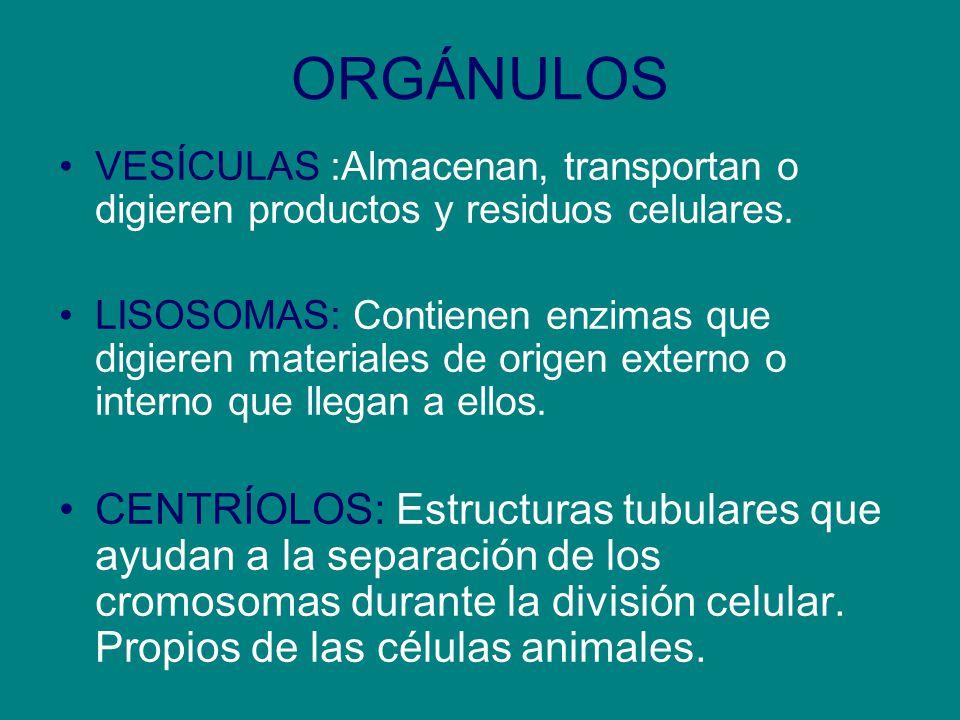 ORGÁNULOS VESÍCULAS :Almacenan, transportan o digieren productos y residuos celulares.