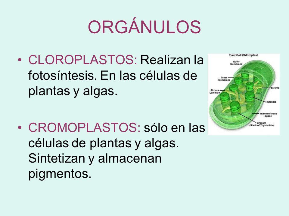 ORGÁNULOS CLOROPLASTOS: Realizan la fotosíntesis. En las células de plantas y algas.