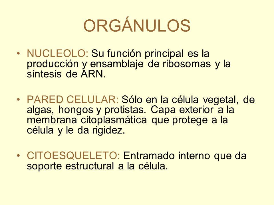 ORGÁNULOS NUCLEOLO: Su función principal es la producción y ensamblaje de ribosomas y la síntesis de ARN.