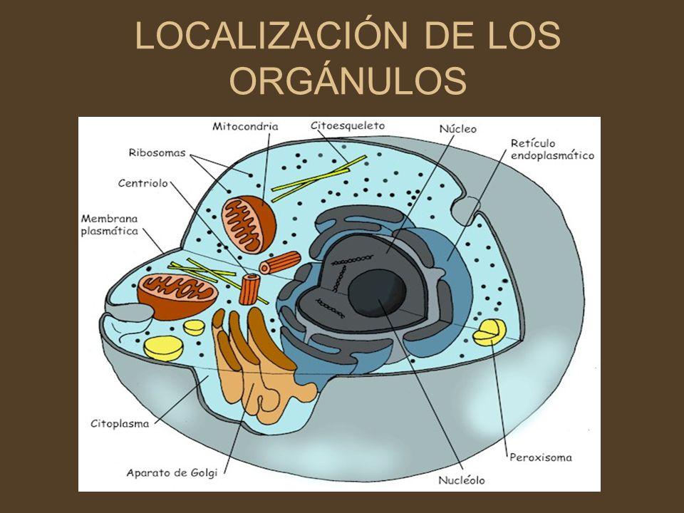 LOCALIZACIÓN DE LOS ORGÁNULOS