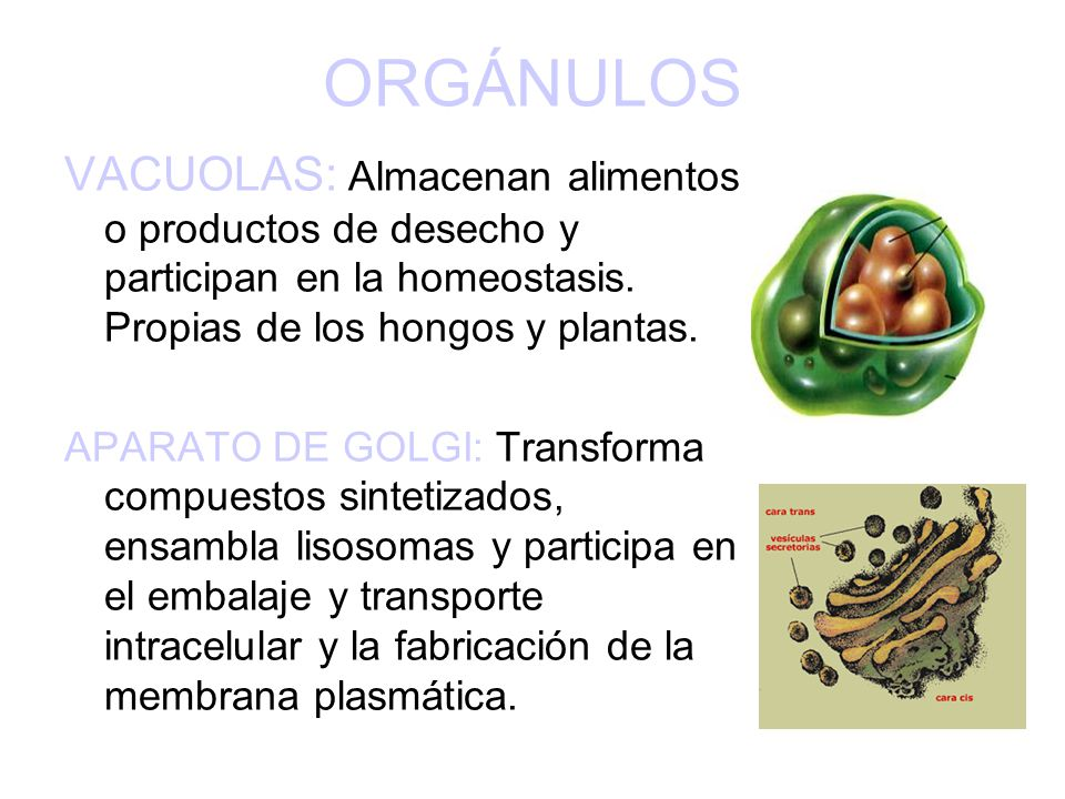 ORGÁNULOS VACUOLAS: Almacenan alimentos o productos de desecho y participan en la homeostasis. Propias de los hongos y plantas.