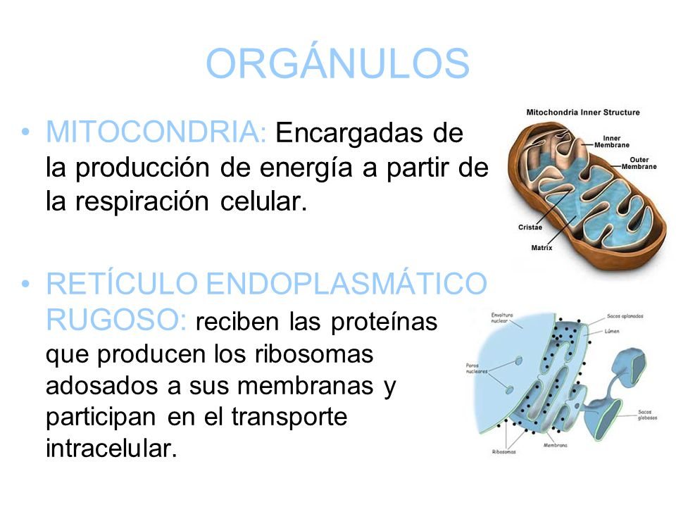 ORGÁNULOS MITOCONDRIA: Encargadas de la producción de energía a partir de la respiración celular.
