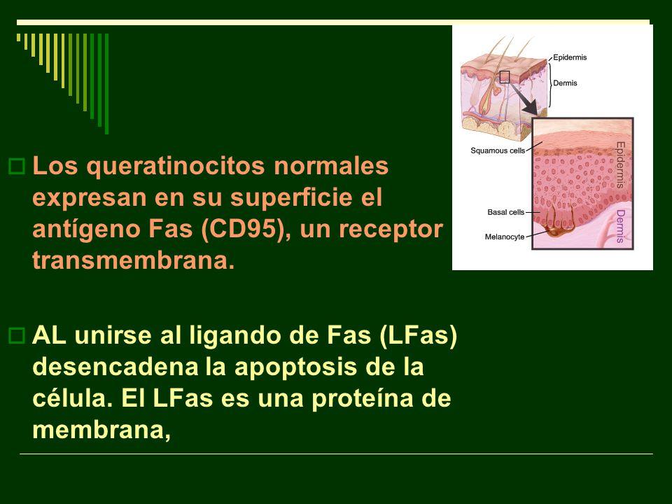 Los queratinocitos normales expresan en su superficie el antígeno Fas (CD95), un receptor transmembrana.