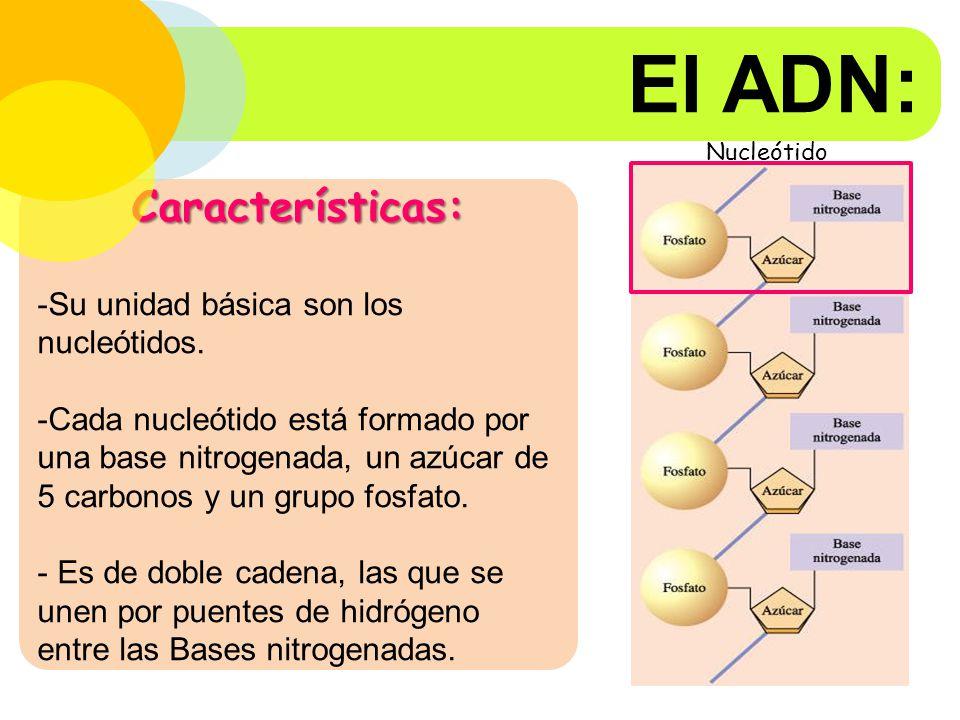 El ADN: Características: Su unidad básica son los nucleótidos.