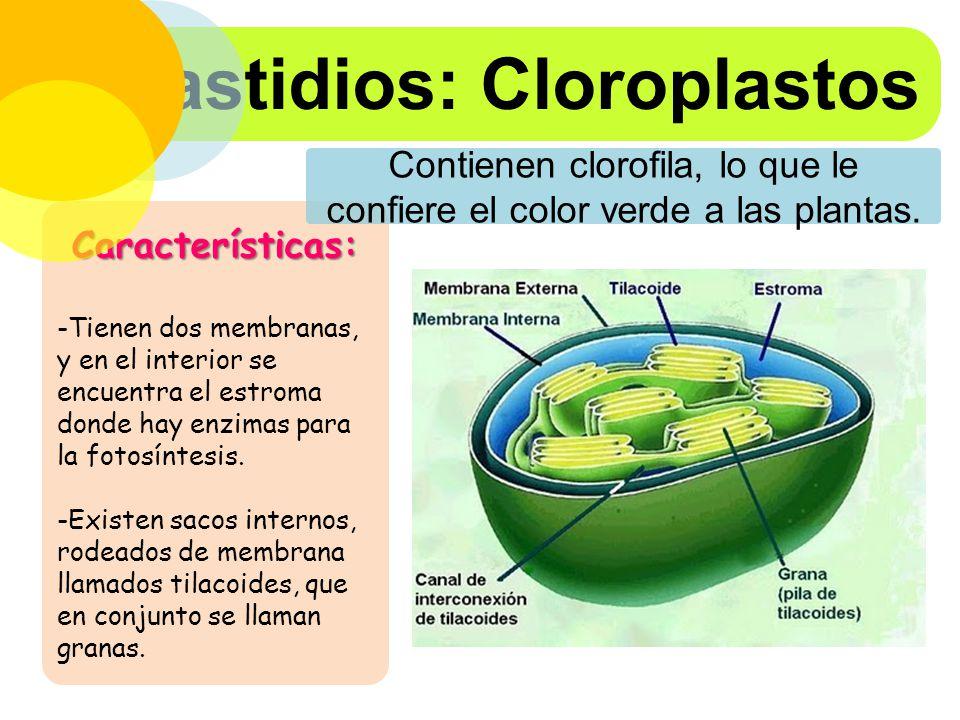 Contienen clorofila, lo que le confiere el color verde a las plantas.