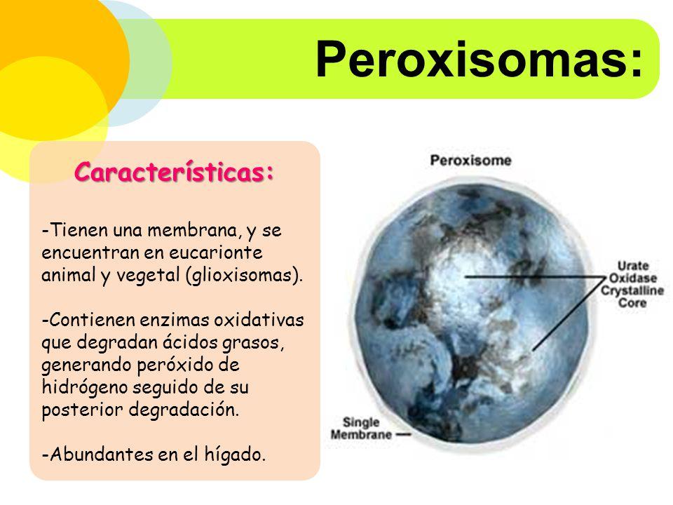 Peroxisomas: Características: