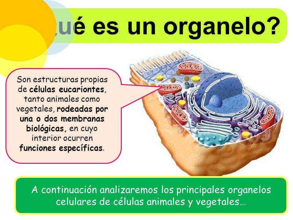 ¿Qué es un organelo