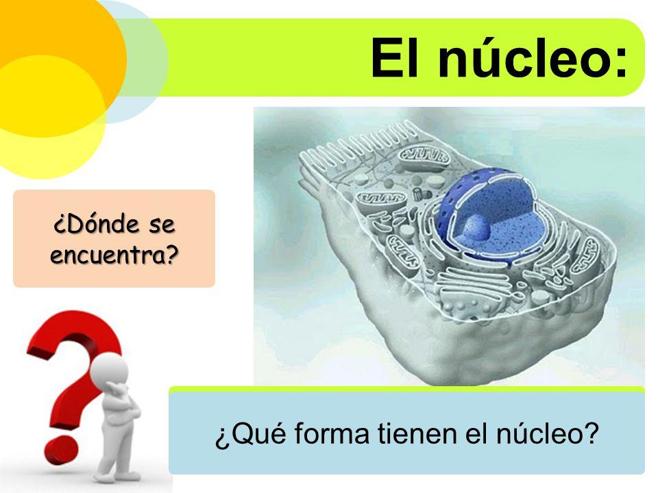 El núcleo: En las células eucariontes ¿Qué forma tienen el núcleo