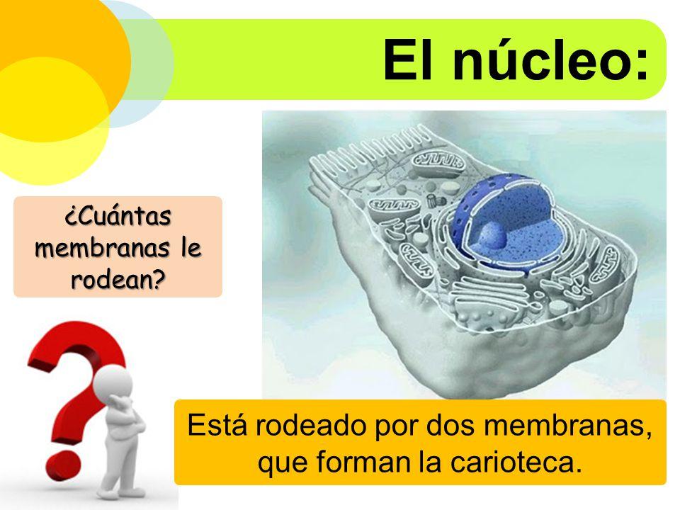 El núcleo: Está rodeado por dos membranas, que forman la carioteca.