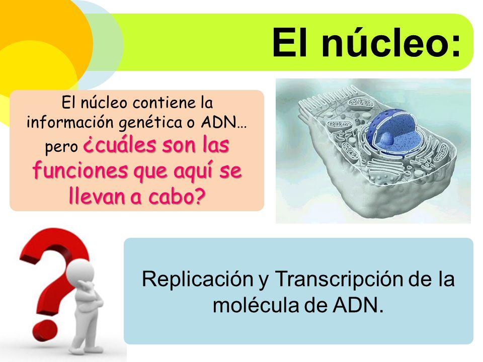 Replicación y Transcripción de la molécula de ADN.