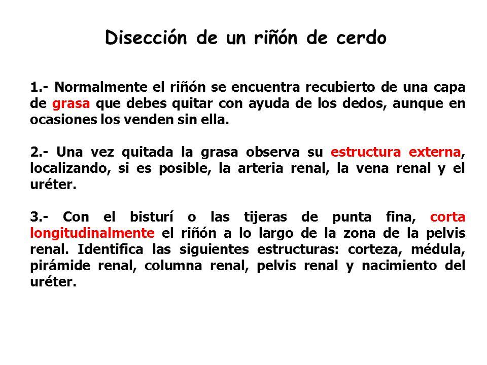 Hermosa Fetal De Disección Cerdo Anatomía Externa Respuestas Imagen ...