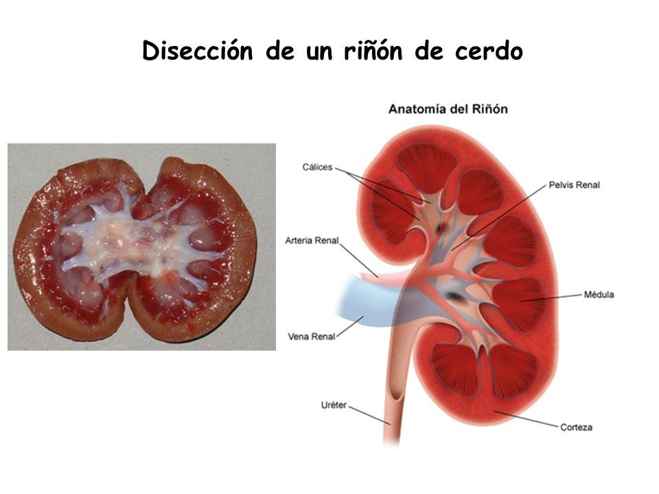 Fantástico Anatomía Riñón De Cerdo Imágenes - Anatomía de Las ...