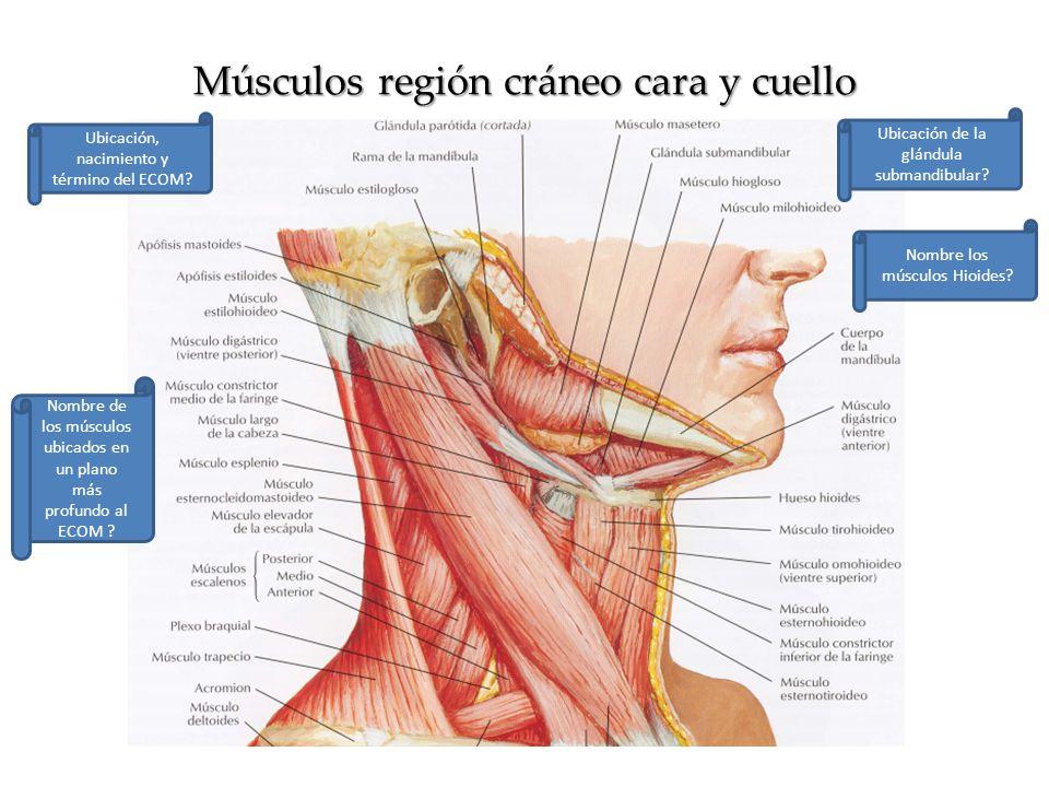 Único Músculo Del Cuello Colección de Imágenes - Anatomía de Las ...