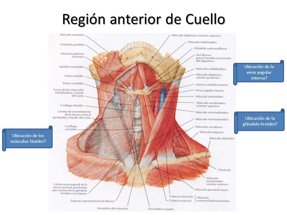 Excelente Anatomía Fascia Cervical Ornamento - Anatomía de Las ...