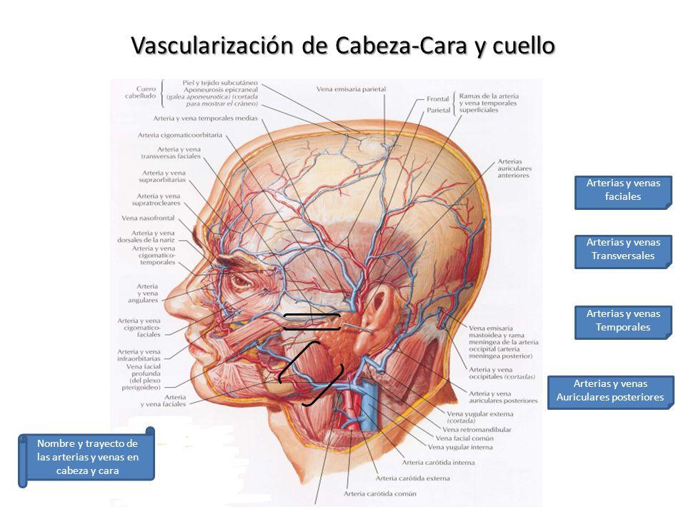 Bonito Anatomía Arterias Del Cuello Friso - Anatomía de Las ...