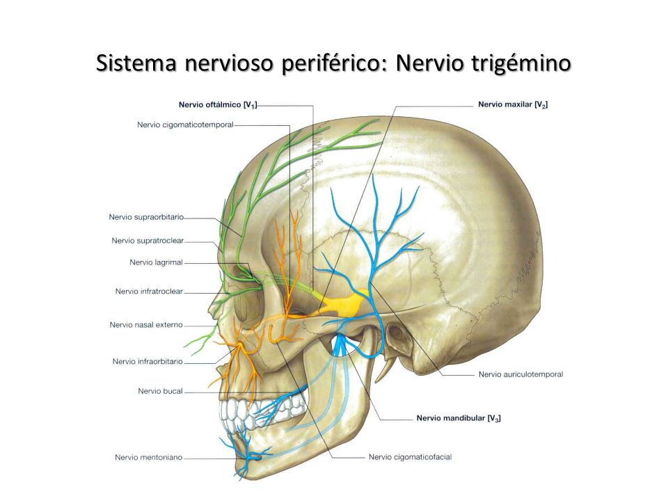 Magnífico Anatomía Del Nervio Auriculotemporal Elaboración ...