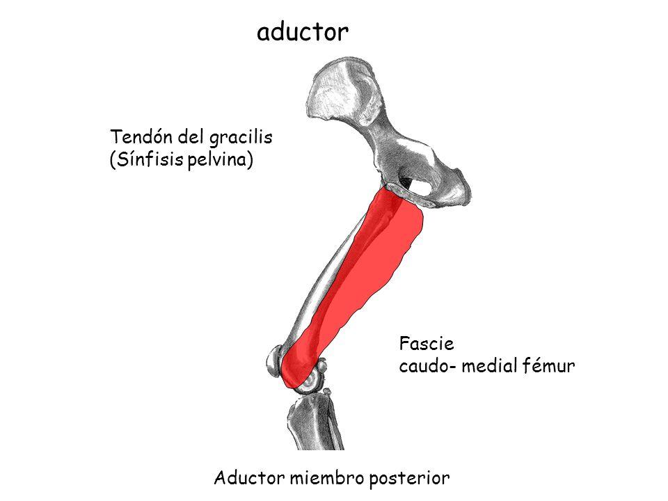 Encantador Tendón Gracilis Bosquejo - Imágenes de Anatomía Humana ...