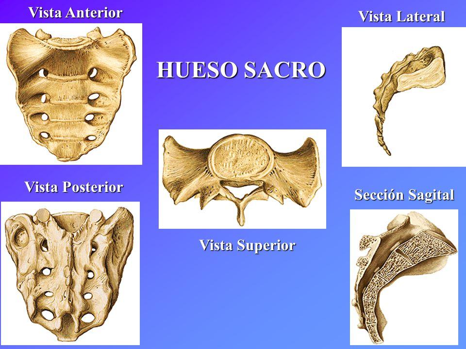 Contemporáneo Hueso Sacro Foto - Imágenes de Anatomía Humana ...