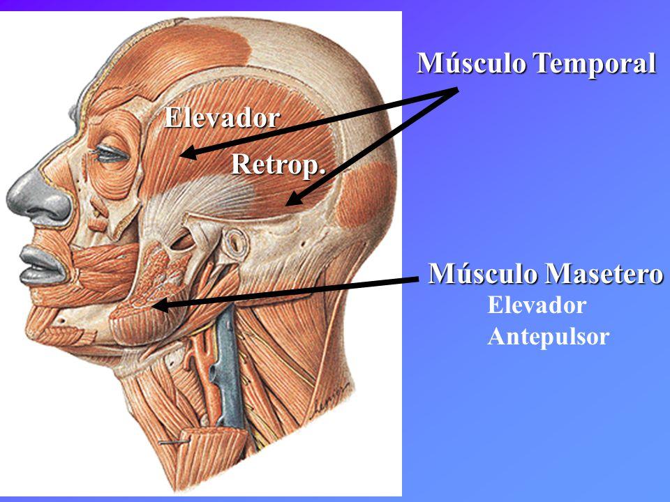 Contemporáneo Anatomía Músculo Frontal Inspiración - Imágenes de ...