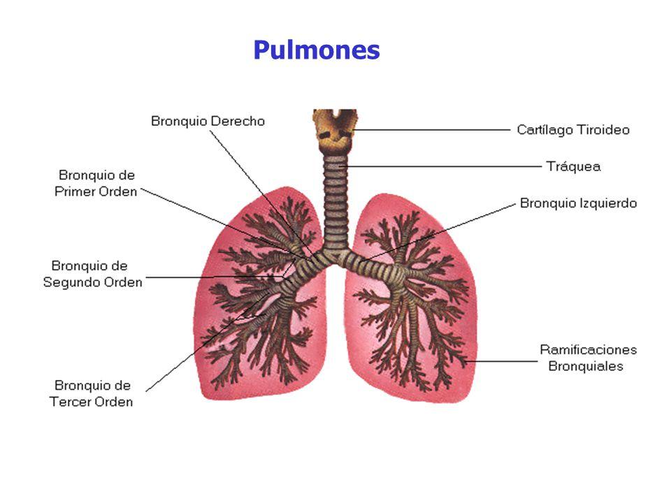 Contemporáneo Pulmones Anatomía Y Fisiología Elaboración - Imágenes ...