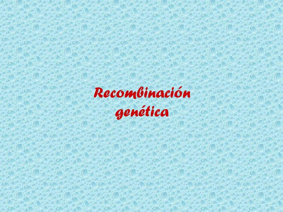Ppt recombinación genética powerpoint presentation id:7047550.