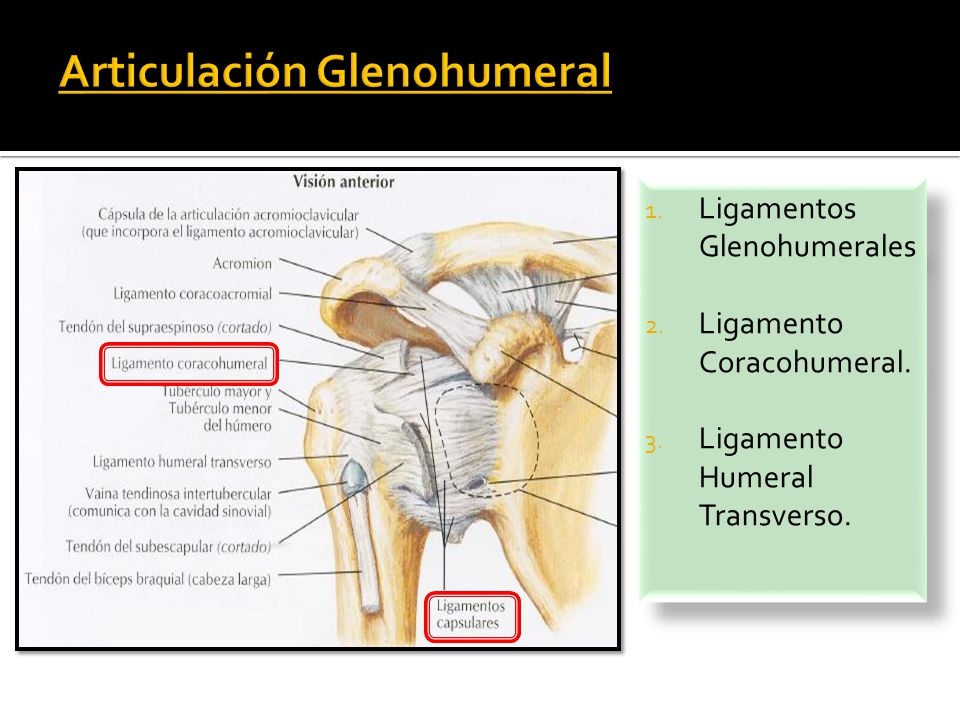 Fantástico Anatomía Articulación Glenohumeral Ideas - Anatomía de ...