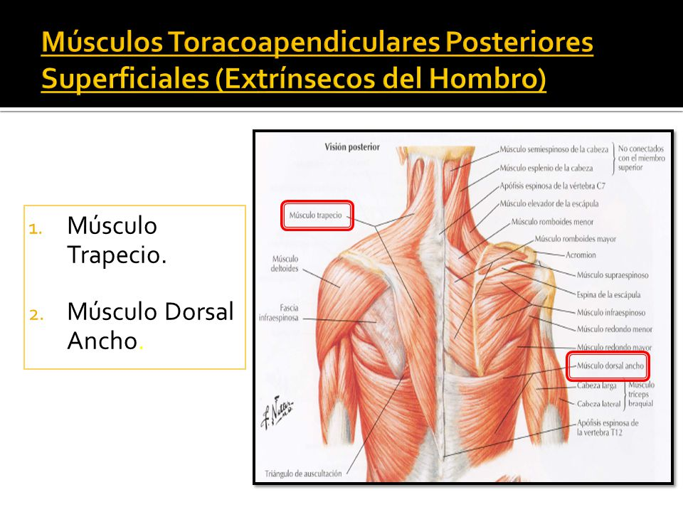 Perfecto Los Músculos Del Hombro Posterior Imágenes - Imágenes de ...