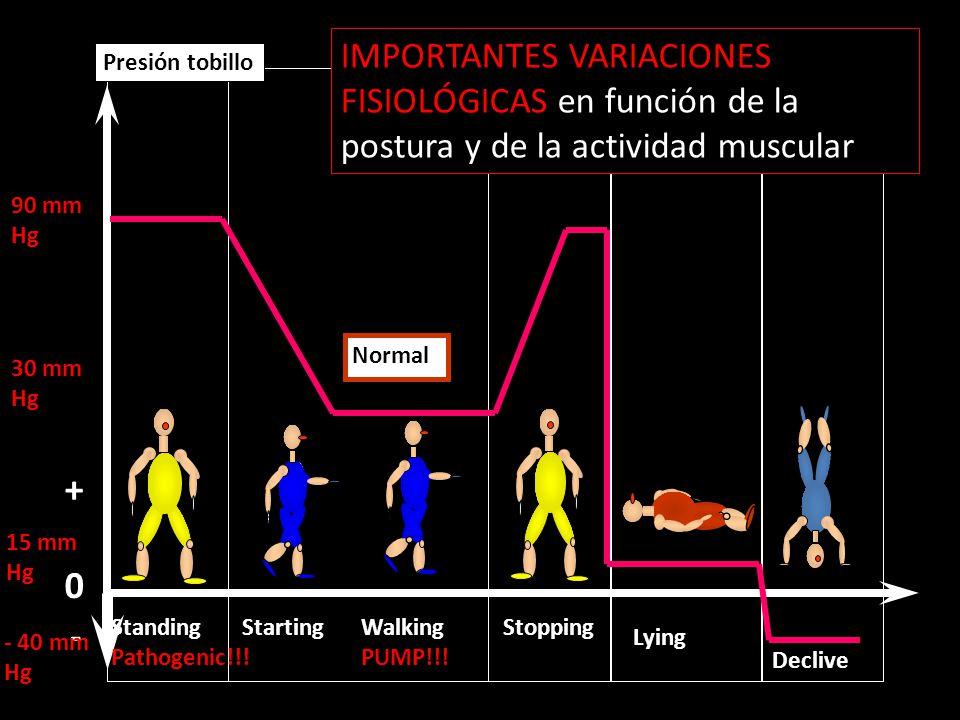 IMPORTANTES VARIACIONES FISIOLÓGICAS en función de la postura y de la actividad muscular