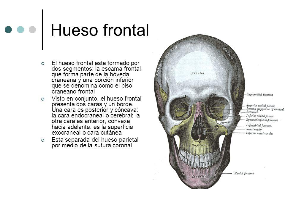 Lujo Hueso Frontal Regalo - Imágenes de Anatomía Humana ...