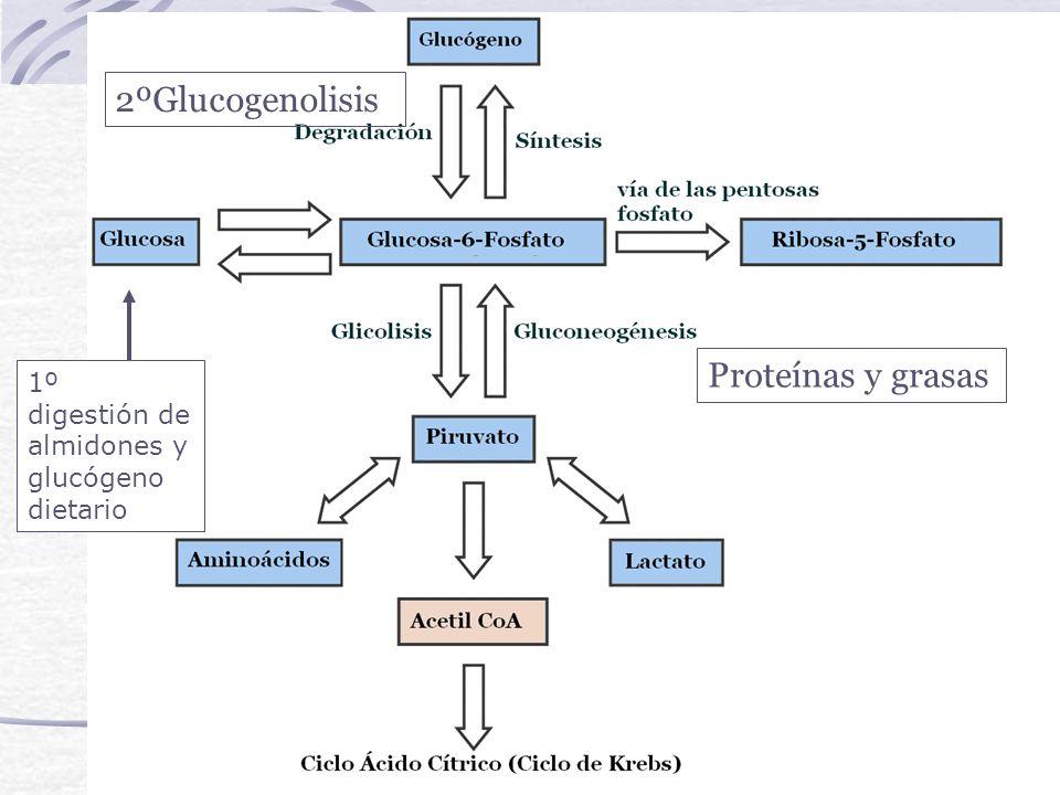 2ºGlucogenolisis Proteínas y grasas 1º