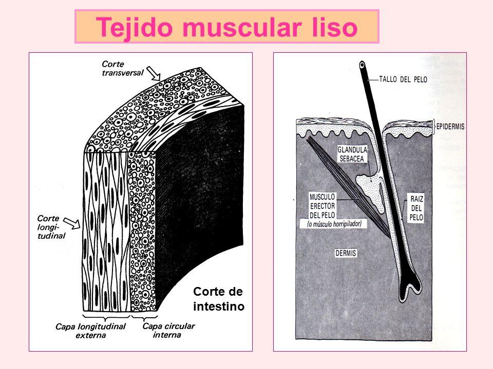 Tejido muscular liso Corte de intestino