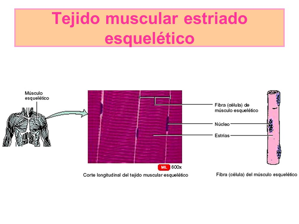 Tejido muscular estriado esquelético