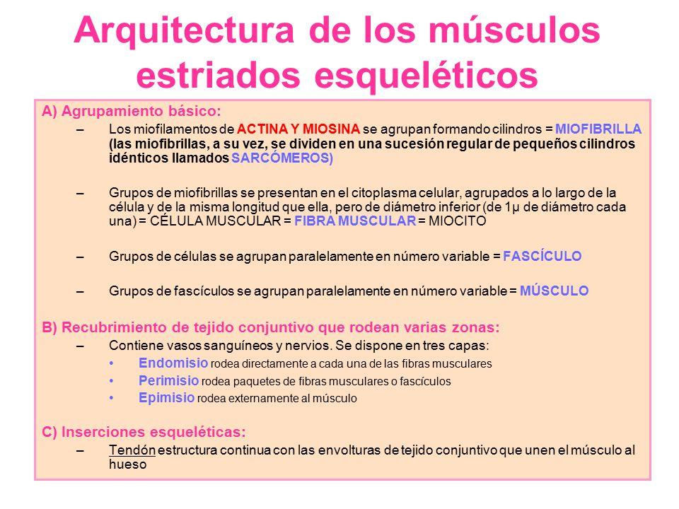 Arquitectura de los músculos estriados esqueléticos