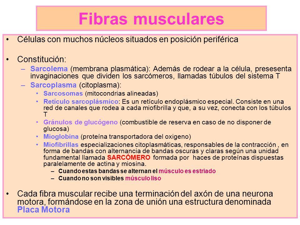 Fibras musculares Células con muchos núcleos situados en posición periférica. Constitución: