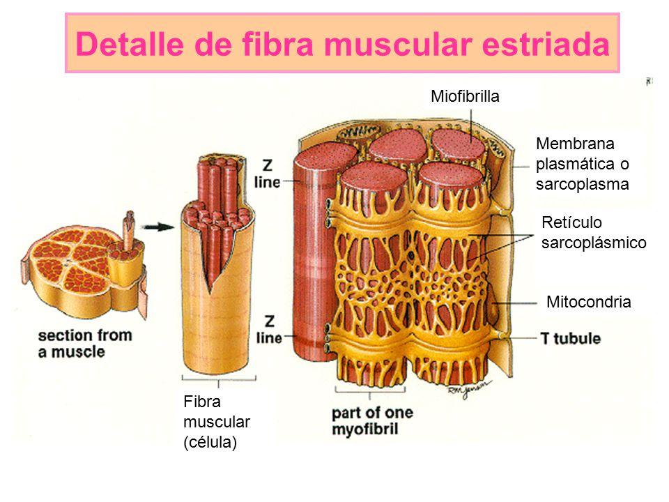 Detalle de fibra muscular estriada