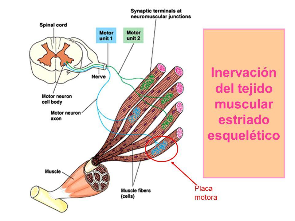 Inervación del tejido muscular estriado esquelético