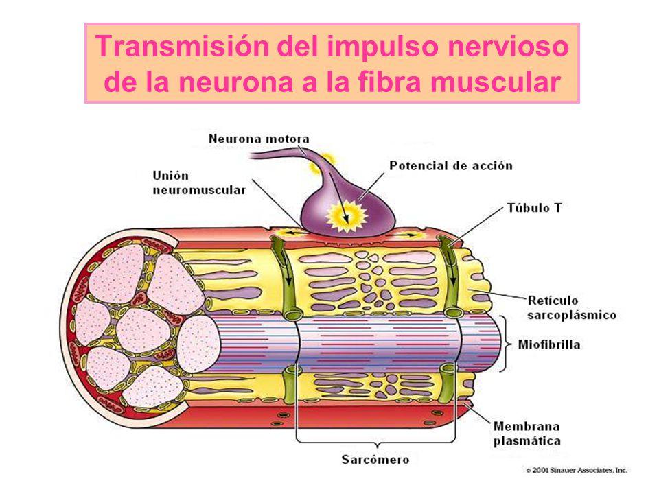 Transmisión del impulso nervioso de la neurona a la fibra muscular