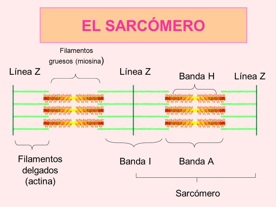 EL SARCÓMERO Línea Z Línea Z Banda H Línea Z