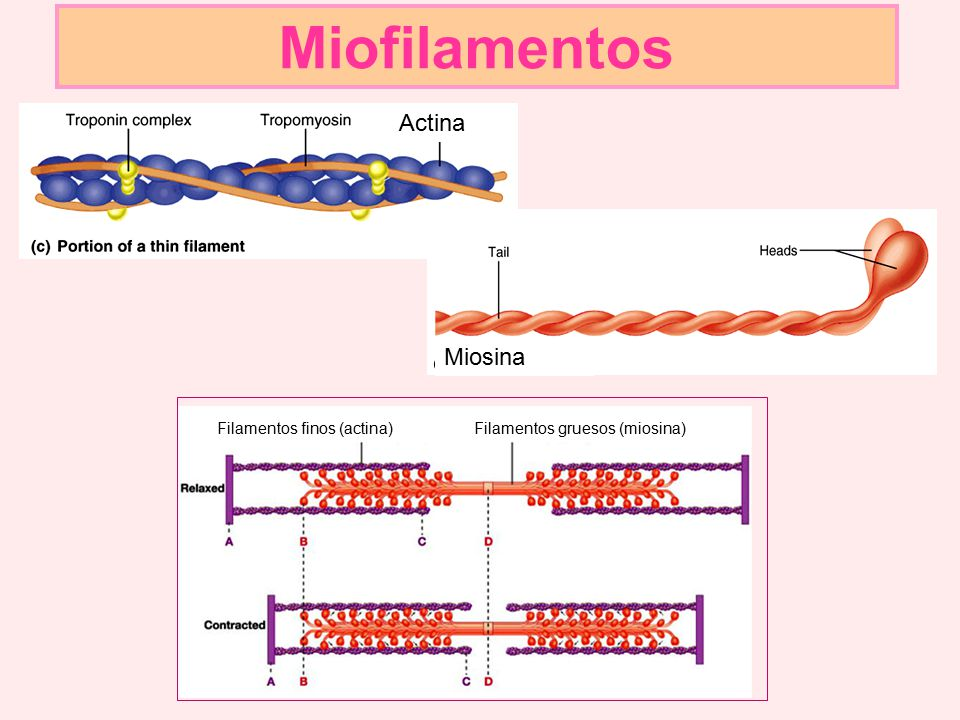 Miofilamentos Actina Miosina Filamentos finos (actina)