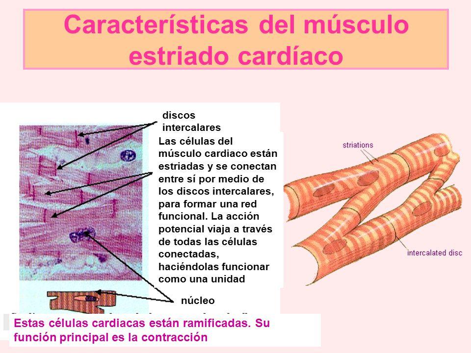 Características del músculo estriado cardíaco