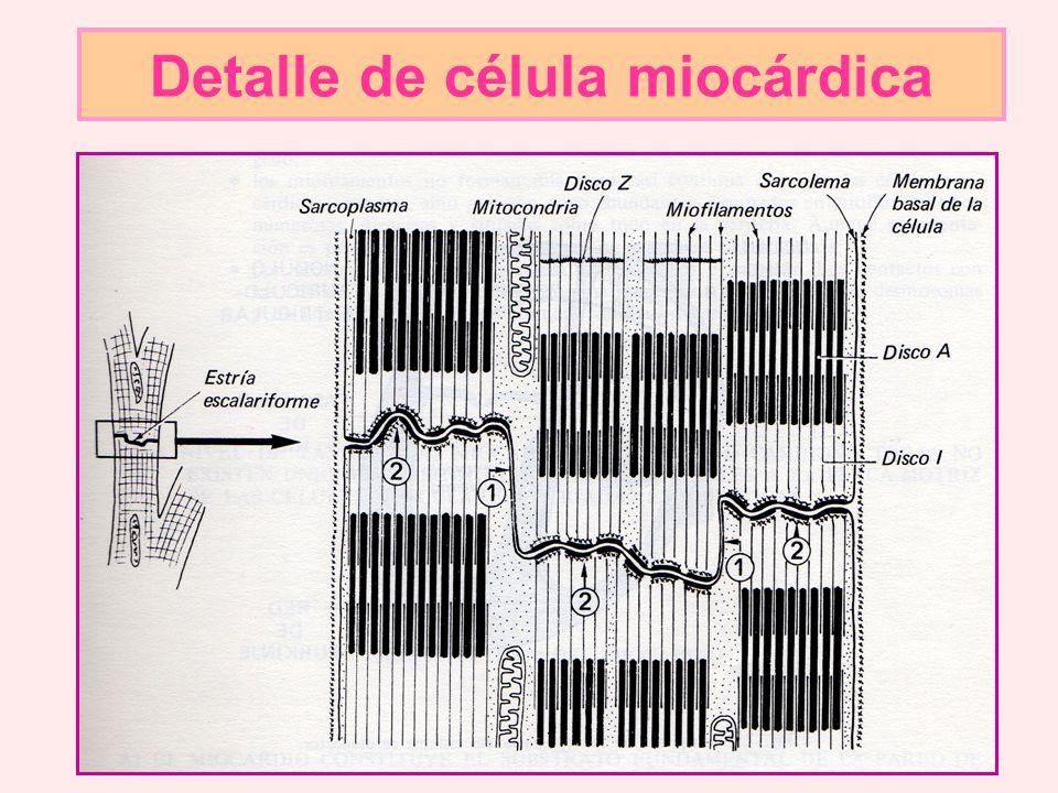 Detalle de célula miocárdica