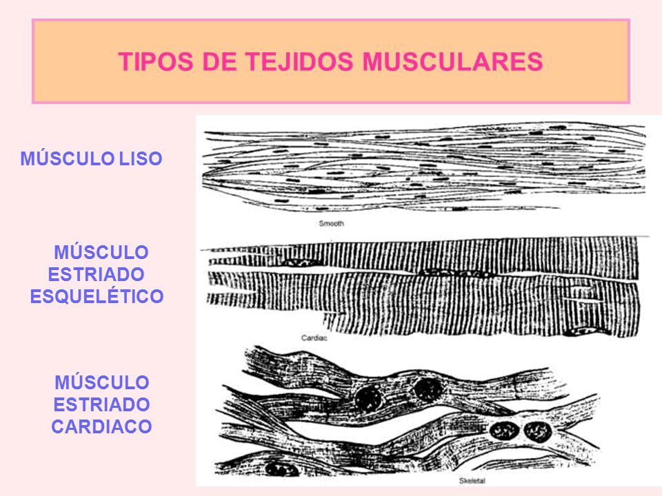 TIPOS DE TEJIDOS MUSCULARES