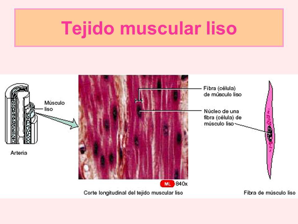 Tejido muscular liso