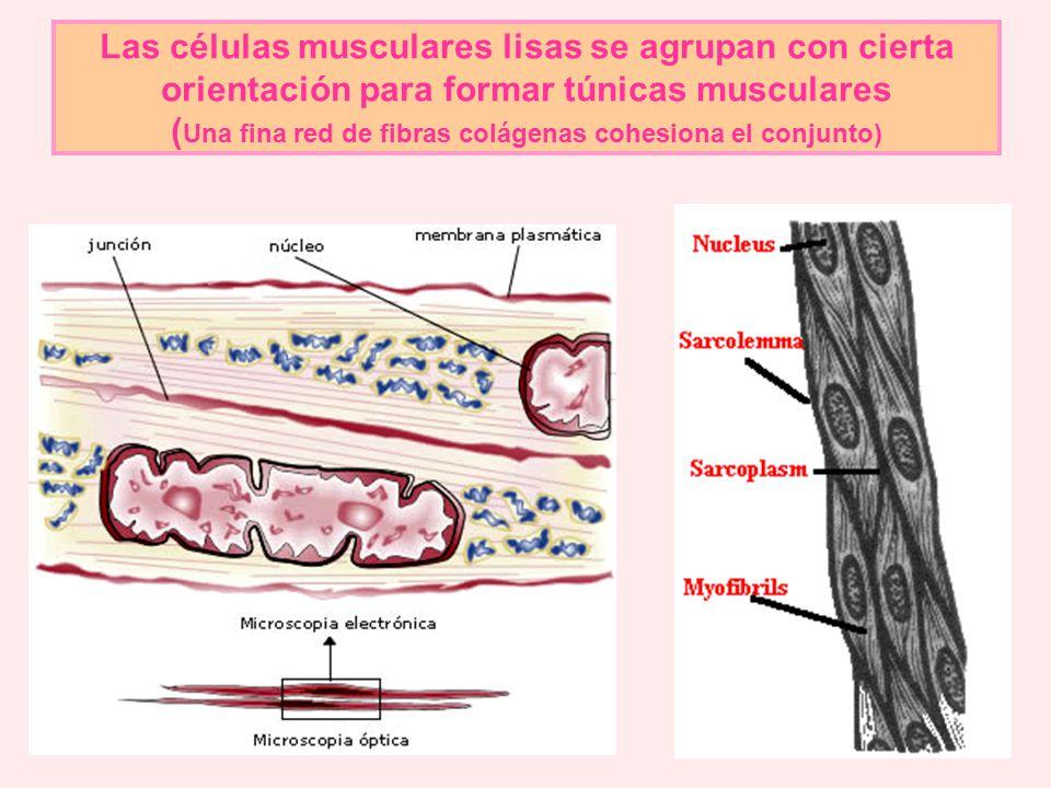 Las células musculares lisas se agrupan con cierta orientación para formar túnicas musculares (Una fina red de fibras colágenas cohesiona el conjunto)