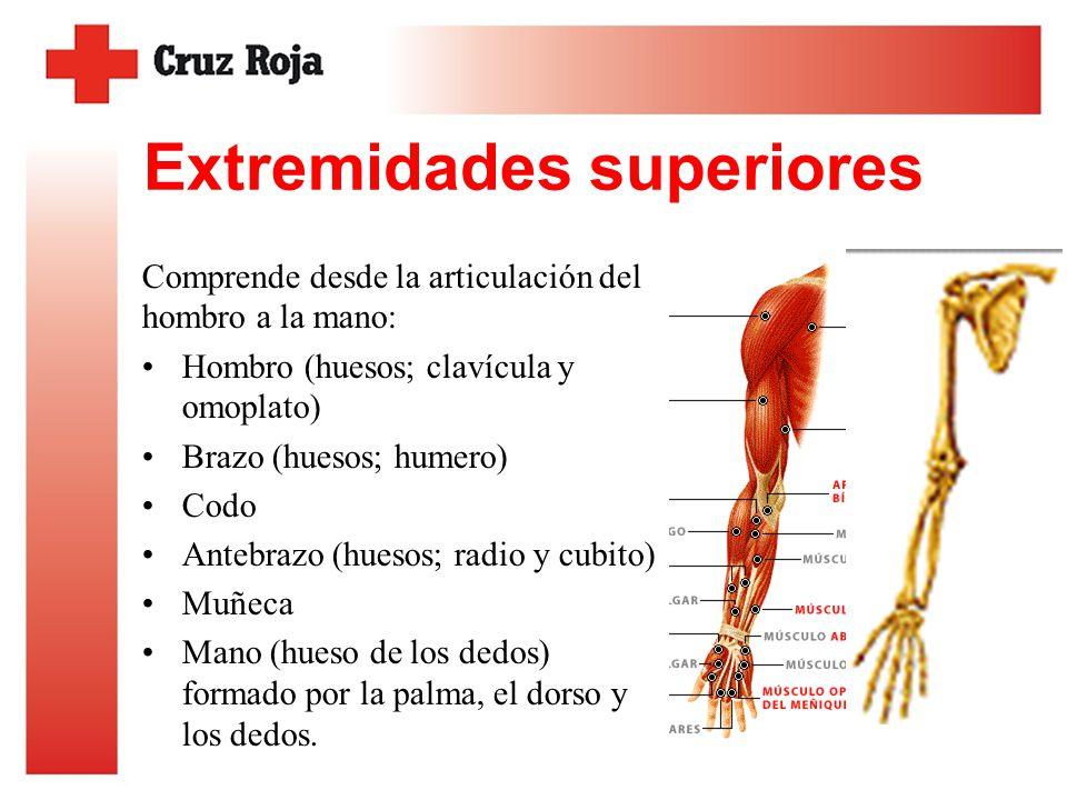 Fantástico Huesos De La Anatomía De Las Extremidades Superiores ...