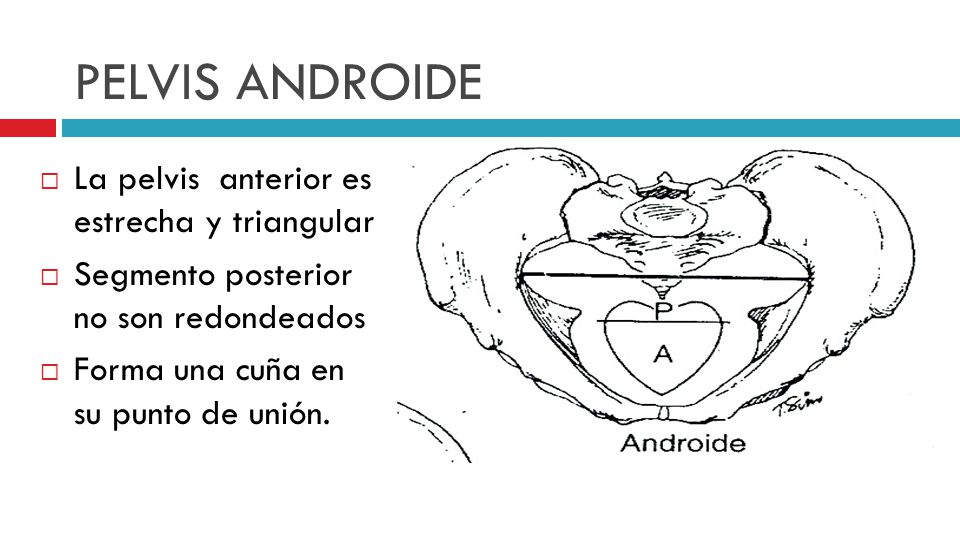 PELVIS ANDROIDE La pelvis anterior es estrecha y triangular