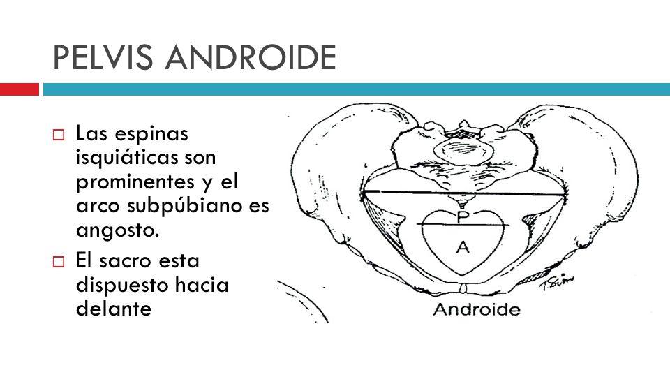 PELVIS ANDROIDE Las espinas isquiáticas son prominentes y el arco subpúbiano es angosto.