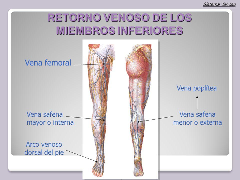 Bonito La Anatomía De La Vena Peronea Colección de Imágenes ...