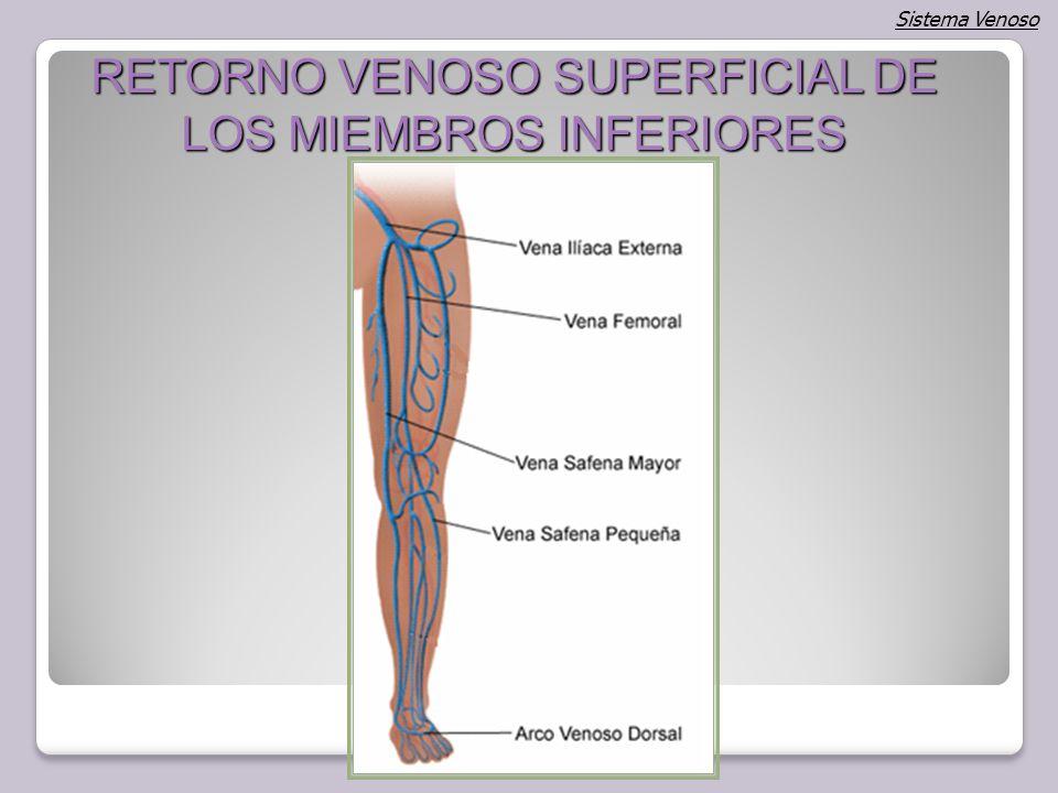 Vistoso Anatomía De La Vena Safena Mayor Fotos - Anatomía de Las ...